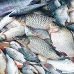 রাজশাহী থেকে বছরে সাড়ে ৭'শ কোটি টাকার মাছ যায় বিভিন্ন জেলায়